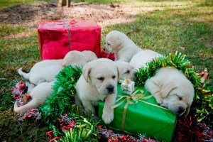 Guide dogs Christmas appeal
