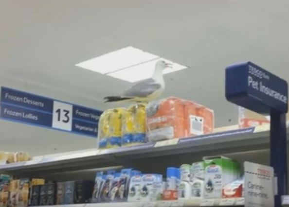 Far Out Friday: Scary seagull scours shop for insurance