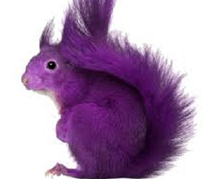 Catching the purple squirrel
